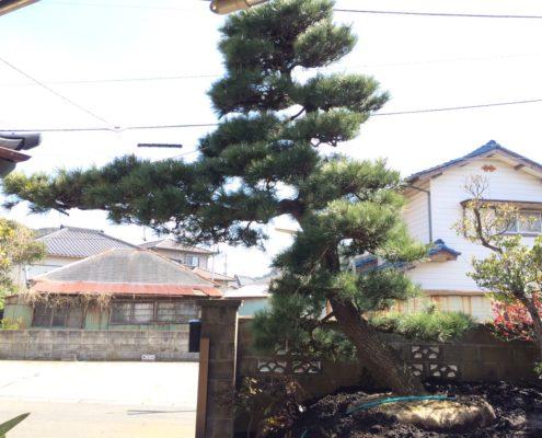 黒松 門かぶり松 植栽