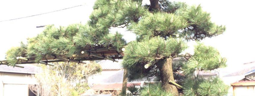 黒松 門かぶり松 植栽工事