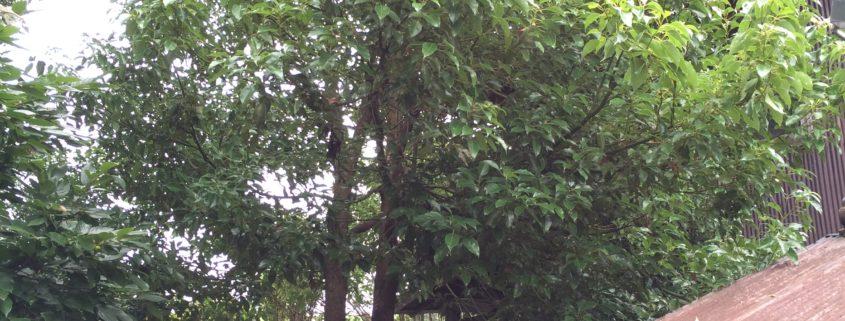 庭木の伐採 春日部市 植木屋 業者 作業前