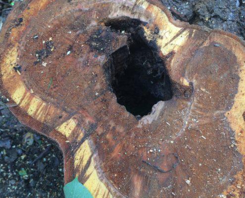 伐採 桜の木 幹の内部 空洞 さいたま市南区 植木屋 業者