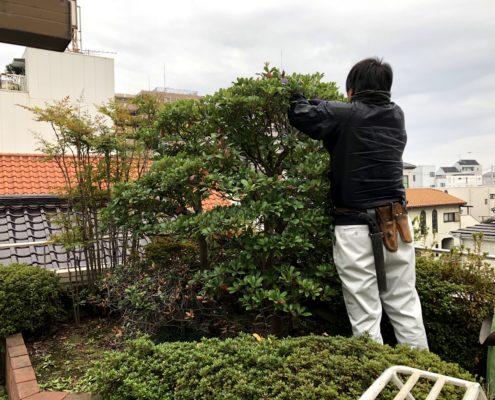 モッコク 剪定 透かし剪定 和風 お庭 春日部市 植木屋 造園業者