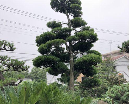 モチノキ 仕立物 剪定 刈込 作業前 庭師 和風庭園 和風の庭
