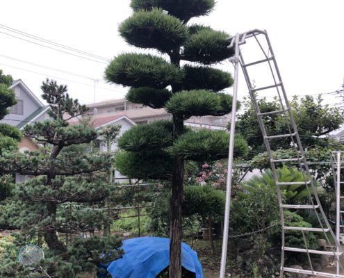 マキ 仕立物 剪定 刈込 作業前 庭師 和風庭園 和風の庭