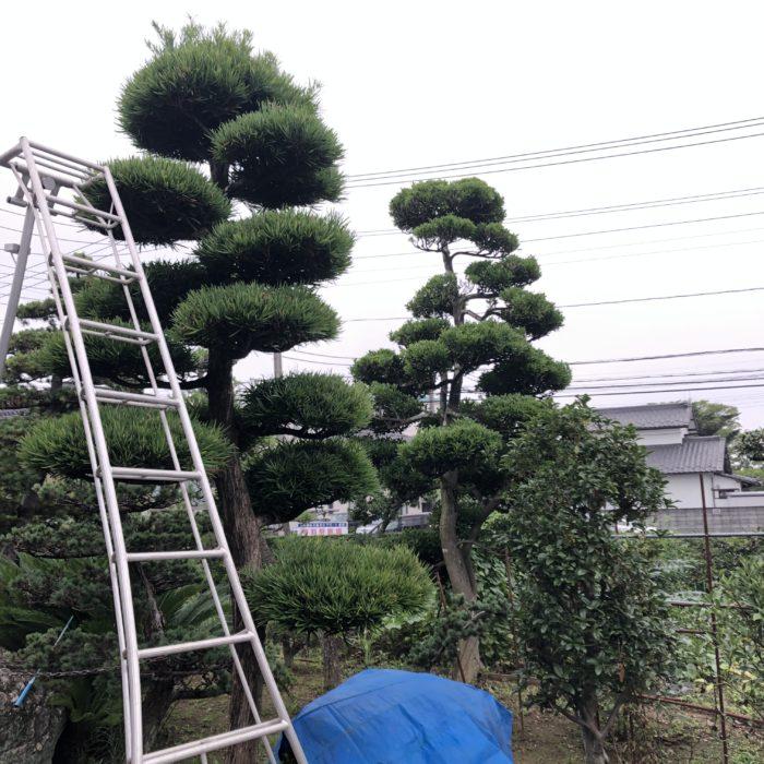 マキ 仕立物 剪定 刈込 玉散らし 作業前 庭師 植木屋 和風 金子造園