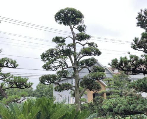 モチノキ 仕立物 剪定 刈込 作業後 庭師 和風庭園 和風の庭
