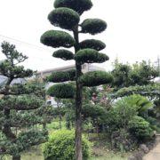 マキ 仕立物 剪定 刈込 作業後 庭師 和風庭園 和風の庭