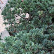 五葉松 剪定 もみ上げ 透かし剪定 植木職人 さいたま市 春日部市
