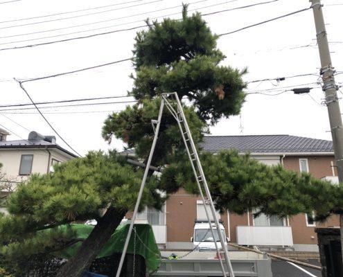 黒松 剪定 仕立物 作業前 埼玉県 春日部市 植木屋