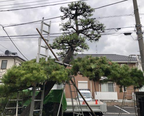 黒松 剪定 仕立物 作業中 埼玉県 春日部市 植木屋