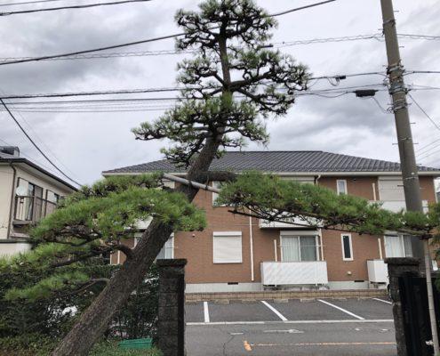 黒松 剪定 仕立物 作業後 埼玉県 春日部市 植木屋