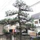 チョウセンゴヨウ 五葉松 剪定 仕立て 高木 埼玉県さいたま市 庭師