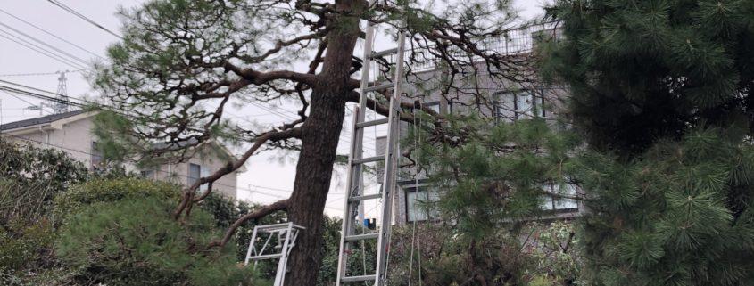 赤松 マツ 高木 7m以上 剪定 お手入れ 植木屋 庭師