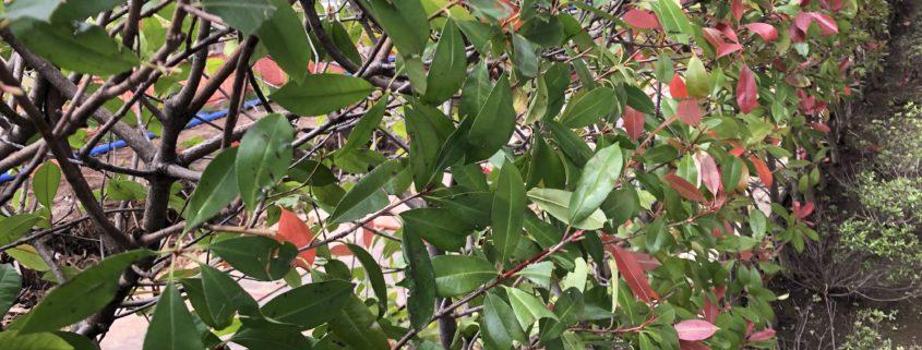 生垣 剪定 お手入れ 庭木 レッドロビン ベニカナメモチ 植木屋 造園