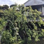 枝垂れ しだれ梅 剪定 和風庭園 お手入れ 埼玉県 さいたま市 庭師 造園屋
