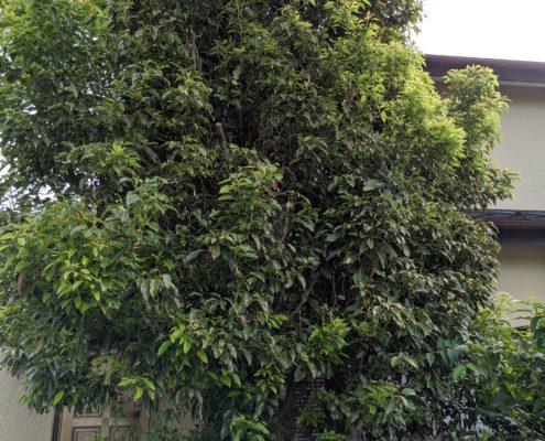 クスノキ 高木 伐採 お庭のお手入れ さいたま 埼玉県 春日部市