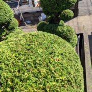 仕立て物 玉散らし チャボヒバ 和風庭園 埼玉県 春日部市 さいたま市 庭師 植木屋